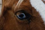 Fototapeta Konie - Paint horse blue eye close up.