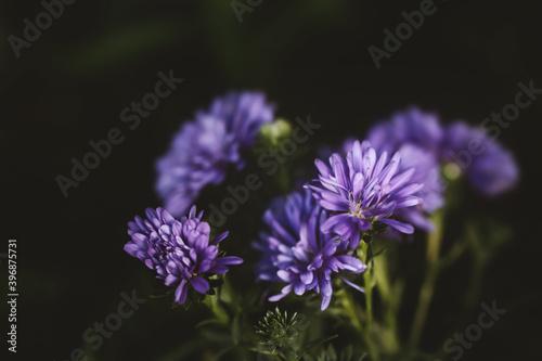 Fototapety, obrazy: Violet daysies flower in garden,low key.