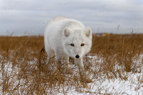 Arctic fox in winter time in Siberian tundra Tapéta, Fotótapéta