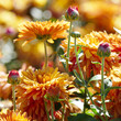 canvas print picture Orange chrysanthemums on a flower bed