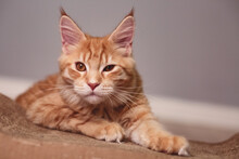 Beautiful Red Solid Maine Coon Serious Kitten Lying And  Winking One Eye. Closeup Natural Emotional Portrait