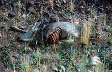 Carcass Of A Deer On The Roadside, USA