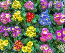 Primrose Flower Plants Come In Many Varieties And Pretty Colors, And Bloom In Late Winter And Early Spring