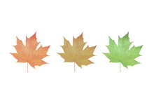 Three Color Of Maple Leaves, Representing Autumn Time