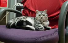 Silver Male Scottish Fold With Classsic Tabby Lay On Chair Is Looking At Camera