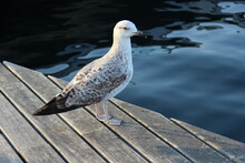 Seagull Sitting On A Pier