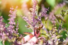 Purple Holy Basil Leaf And Flo...