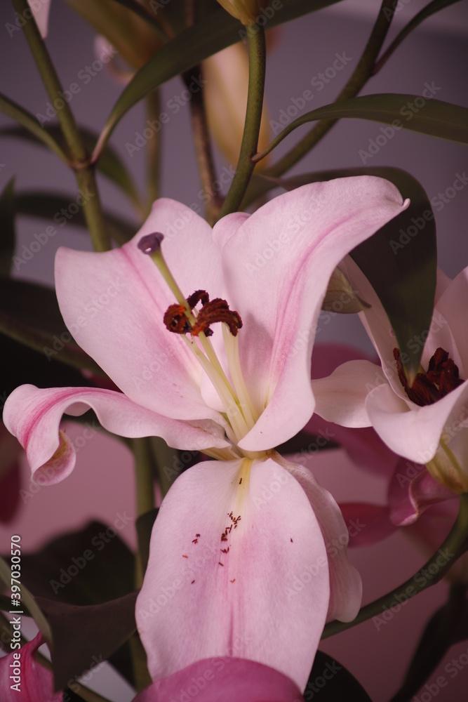 Lilia różowa kwiat płatek pręcik - obrazy, fototapety, plakaty