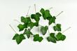 Duże, zielone liście bluszczu na jasnym tle/