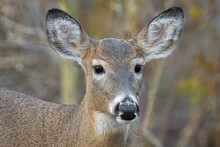 Female Deer Gets A Close Up In...