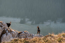 Chamois Males Standing On The Mountain Meadow With Forest In The Backround, Rupicapra Rupicapra, Piatra Craiului, Romania