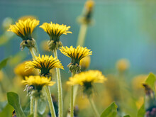 Close Up Of Blooming Yellow Dandelion Flowers.
