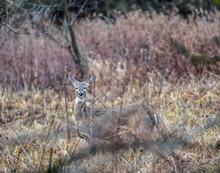 Wild White Tail Deer In The Open Field