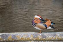 Mandarin Duck Near Pond