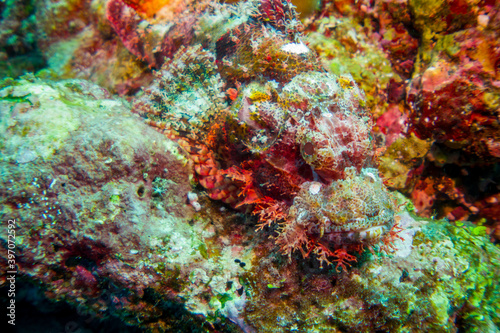 Fototapety, obrazy: Macro close up of a scorpion fish (Scorpaenidae) in the maldives