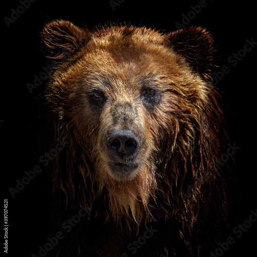 Foto Front view of brown bear isolated on black background