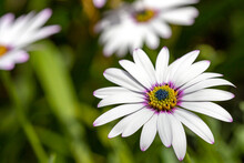 A White Cape Daisy With Purple And Yellow Centre, In A Country Garden In England, Has Opened Out Wide To Take Advantage Of The Day's Summer Sunshine.
