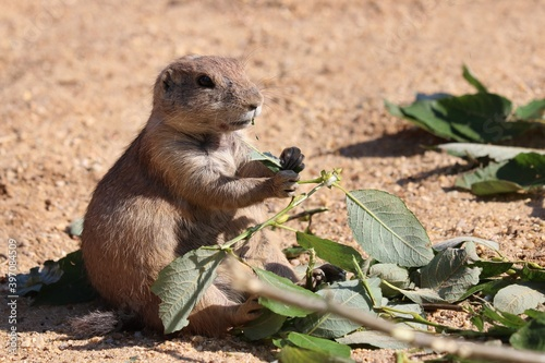 prairie dog eating Fototapet