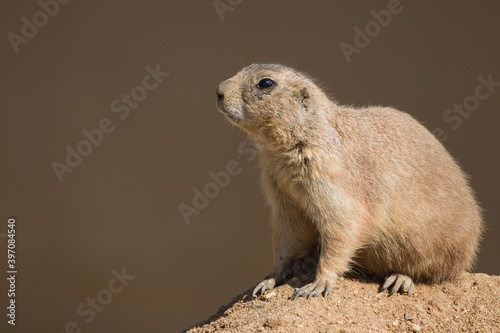 Fotografiet prairie dog on a rock