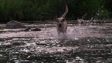 Yellow Lab Running And Splashing Though Creek