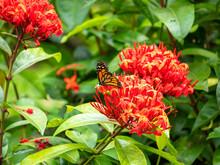 Monarch Butterfly (Danaus Plexippus) Feeding On Enormous Red Flower
