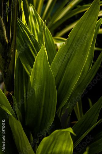 Fototapeta  Zielone liście, roślinne tło. obraz