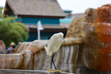 A Snowy Egret Bird Walking On The Edge Of A Fence.