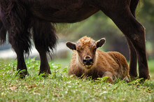 Buffalo Calf Lying Down Under Mother's Protection In The Pasture