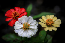Three Zinnia Flowers With Red, White And Yellow Colors. Zinnia Flower Is Also Known As Paper Flower ( Kembang Kertas ) In Indonesia.