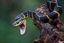 The Gold-ringed Cat Snake In Attacking Position