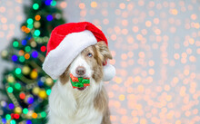 Border Collie Wearing Red Santa Hat Holds Gift Box In It Nouth. Festive Background With Christmas Tree. Empty Space For Text