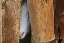 White Goat Peers Through A Hole On A Wooden Barn