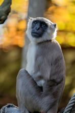 Close Up Of A Bengal Hanuman Langur At The Apenheul Zoo Apeldoorn The Netherlands 2018 Monkey