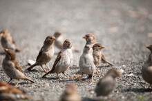 A Flock Of Gray Brown Sparrows...