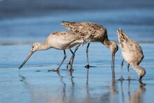 Three Marbled Godwits (shore Birds) Feeding Along The Ocean's Edge
