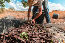 Unrecognizable Male Worker Picking Ripe Carob Pods From Cloth Placed Under Tree During Harvesting Season