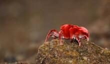 Red Velvet Mite Beetle