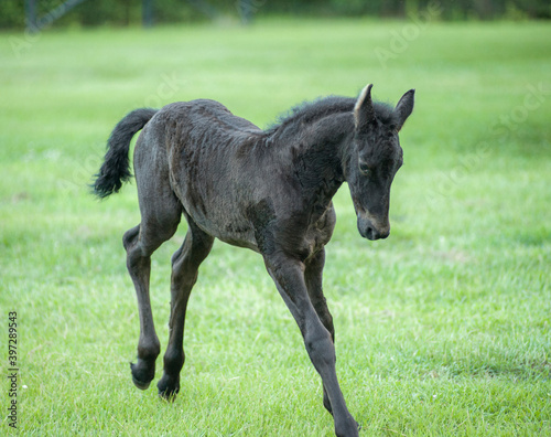 Fotografija Friesian horse foal runs and bucks
