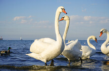 White Graceful Swans With Outstretched Necks On The Sea