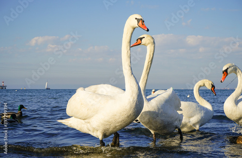 white graceful swans with outstretched necks on the sea Wallpaper Mural