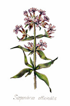 Botanical Illustration Of Saponaria Officinalis (Common Soapwort). Pharmacy Plant With Pink Flowers And Green Leaves
