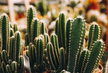 Prickly Cactuses Growing In Gr...