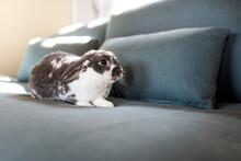Domestic Fluffy Rabbit Cozy On...