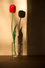 Tulip In Glass Vase In A Sunset Light