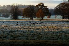 Black Sheep On A Frosty Morning