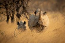 Black Rhino And Baby Stand Facing Camera