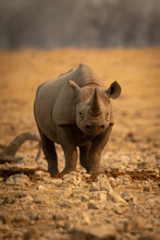 Black Rhino Stands Facing Camera Among Rocks