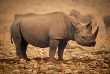 Black Rhino Stands In Profile Near Zebras