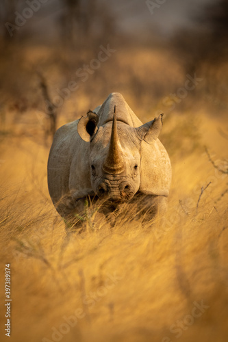 Obraz na plátně Black rhino stands in grass facing camera