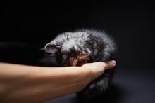 Studio Shot Of Adorable Scottish Black Tabby Kitten Bitting His Owner's Hand.